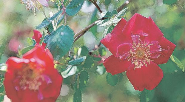 Roses such as Eddie's Jewel can grow twelve foot stems and boast rich, crimson flowers