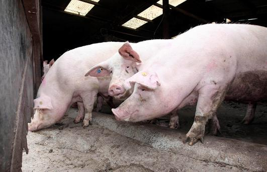 A planning application has been submitted for a massive pig farm near Limavady that could be even bigger than the controversial Halls Farm pig megafarm plan in Newtownabbey