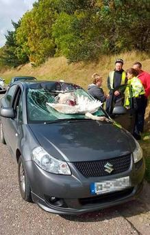 The swan was killed instantly, but the force of the impact drove the bird through the windscreen