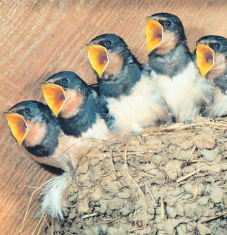 Brave Birds: Swallows about to fly the nest - it seems scarely believable that that they can survive lengthly migrations