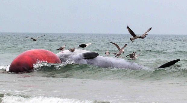 Seagulls flock over the whale at Portstewart Beach on The North Coast on Monday morning. PICTURE MARK JAMIESON.