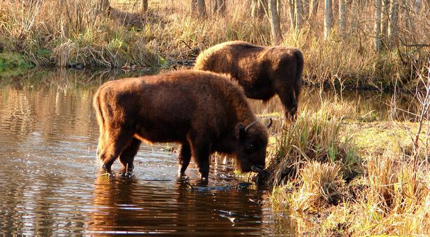 Bison around Chernobyl as animals are thriving since the area was deserted by humans after the world's worst nuclear accident, a study shows.