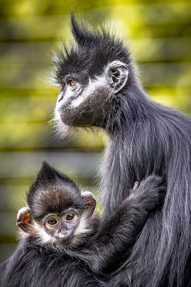 OVERALL WINNER and 1st prize Category A - Francois langurs by Terry Hanna