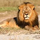 In this undated photo provided by the Wildlife Conservation Research Unit, Cecil the lion rests in Hwange National Park, in Hwange, Zimbabwe. Two Zimbabweans arrested for illegally hunting a lion appeared in court Wednesday, July 29, 2015. The head of Zimbabwes safari association said the killing was unethical and that it couldnt even be classified as a hunt, since the lion killed by an American dentist was lured into the kill zone. (Andy Loveridge/Wildlife Conservation Research Unit via AP)