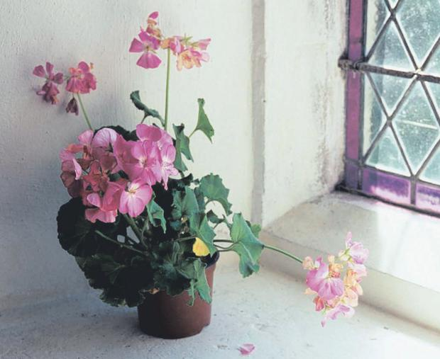 Scented: It it easy to take cuttings from pelargoniums; just snap off a shoot and plant in a pot to winter indoors