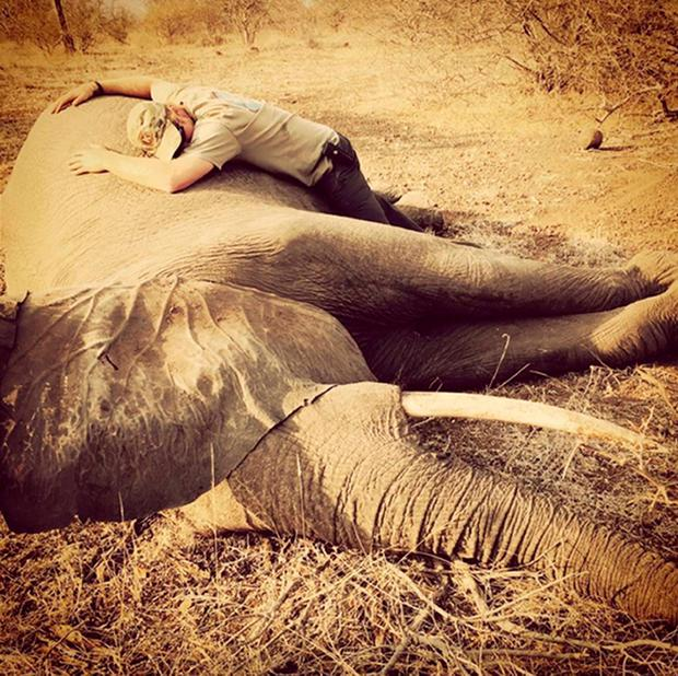 Prince Harry with a sedated female elephant in Kruger National Park in southern Africa.