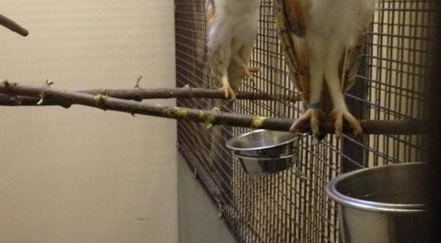 Police in Craigavon seized four barn owls following a planned search. PSNI