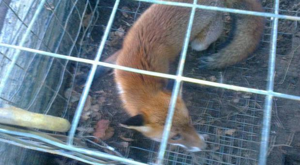 Some of the sickening images released by anti-hunting campaigners