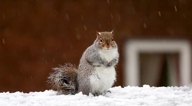 A squirrel searching for food in amid the snow in Belfast on Saturday morning. ( Photo by Kevin Scott / Presseye)