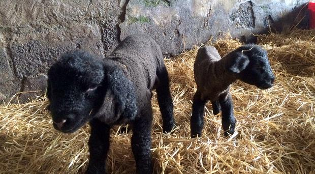 The heavyweight lamb weighs in at 9.9kgs overshadowing a lamb of average size. Photo: Chris McCullough