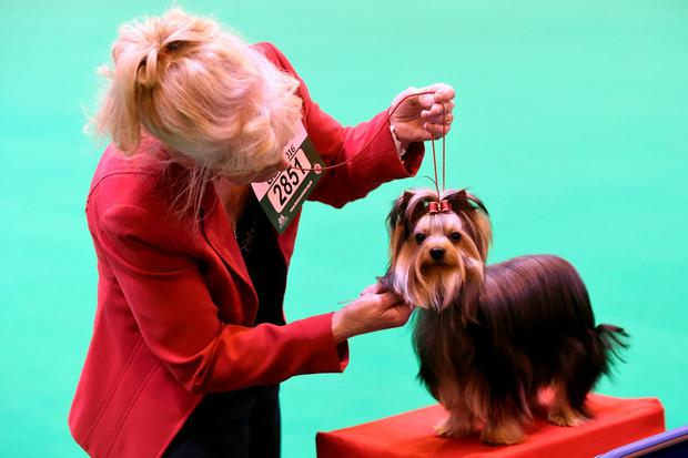 A Yorkshire Terrier is prepared for show during day one of Crufts 2016 at the NEC, Birmingham.