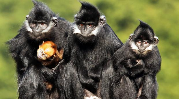 A Franois langur named Xiwang meaning hope in Chinese is Belfast Zoo's latest arrival.