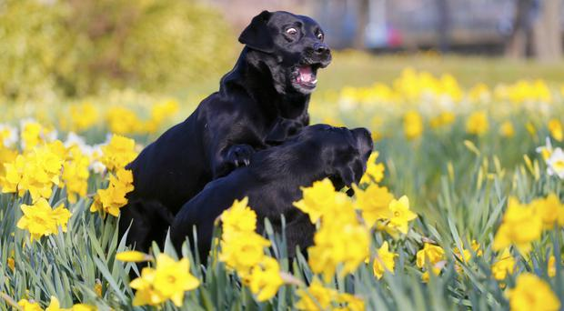 Dogs Tilly and Maora enjoying a frolic in the spring daffodils in Victoria Park on March 14, 2016 Belfast, Northern Ireland. ( Photo by Kevin Scott / Belfast Telegraph )