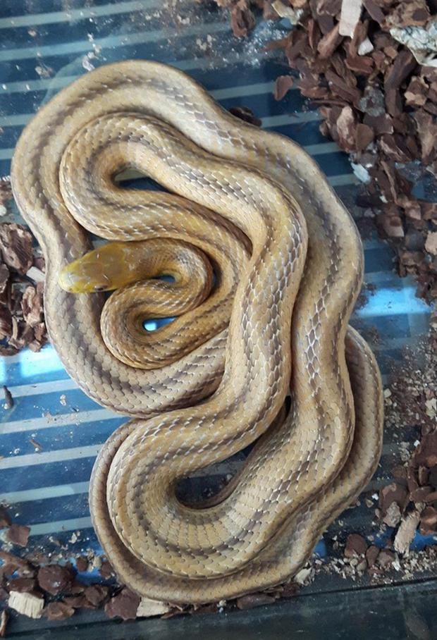 Five-foot long rat snake landed on top of the unsuspecting Dublin homeowner