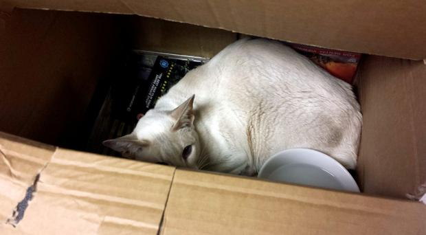 Siamese cat 'Cupcake' survived eight days in a box after she was accidentally put in the post by her owners and travelled with an order of DVDs from Falmouth in Cornwall to West Sussex - more than 260 miles away. Photo credit: RSPCA/PA Wire