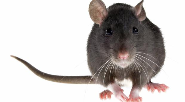 Rats have infested Belfast City Hall