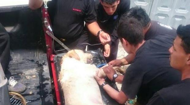 Dayko the Labrador retriever receiving emergency first aid after collapsing amid the rubble (Cuerpo De Bomberos Ibarra Ibarra/Facebook)