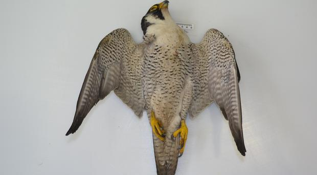 Tests found that two of the birds died linked to Carbofuran poisoning and one was found with Alpha chloralose poisoning.