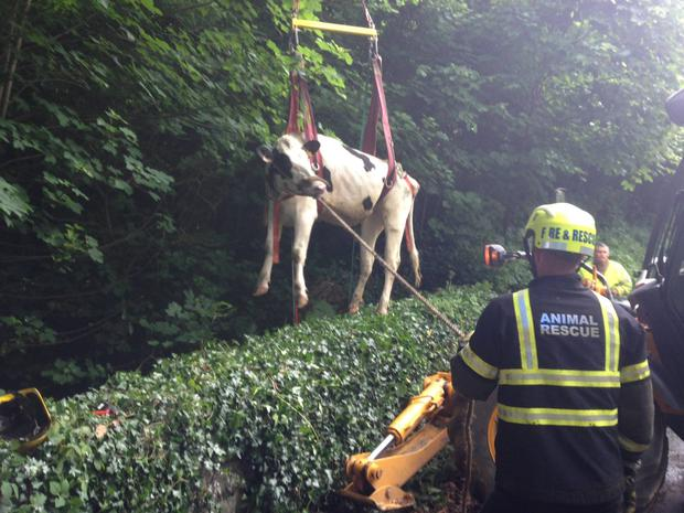 NIFRS rescue a heifer in Strabane.