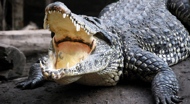 A crocodile is at the centre of a dispute after animal rights activists accused a council of breaching its own rules on using animals for entertainment. File image