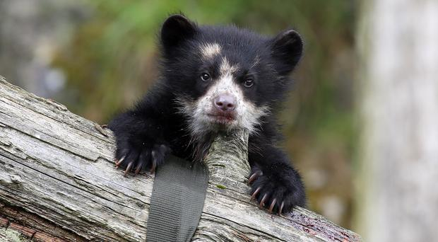 Belfast Zoo is celebrating the first Andean bear birth at Cave Hill in more than 20 years