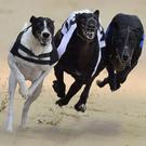 Slow-starting Greenhill Fox still had the overall pace to dot up in Drumbo Park's S3 final worth £350 to the winner (stock photo)