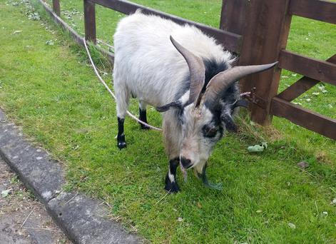 The goat was found in Newcastle on Monday August 10