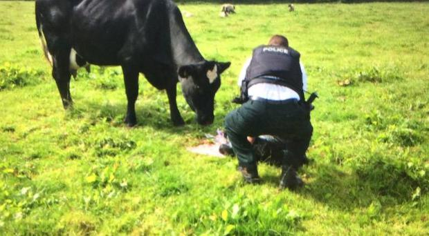 Photographic evidence. A sergeant in Fermanagh helps deliver a calf. Pic: PSNI Fermanagh