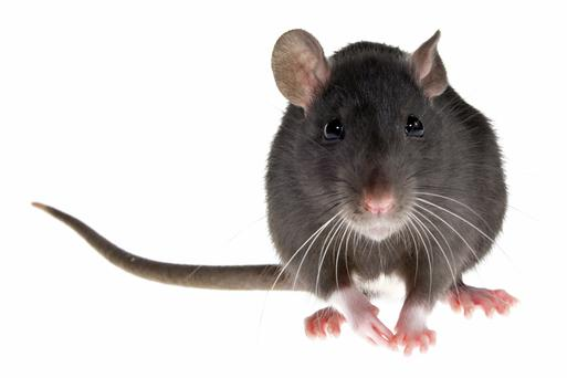 Rat droppings are thought to have been found.