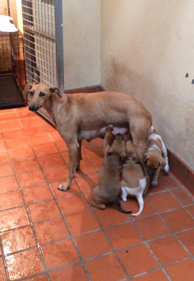 Whippet Honey and her pups recover from being abandoned at the roadside