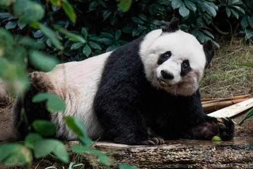 File photograph taken on July 28, 2015, giant panda Jia Jia looks on during her 37th birthday at an amusement park in Hong Kong, making her the oldest giant panda ever kept in captivity, ageing to the equivalent of more than 100 in human terms. Jia Jia died on October 16, 2016, aged 38. / AFP PHOTO / PHILIPPE LOPEZPHILIPPE LOPEZ/AFP/Getty Images