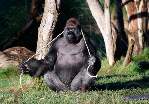 Western lowland gorilla Kumbuka whose escape sent ZSL London Zoo into lockdown made an