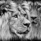 1st prize in category C, best black and white picture - Barbary lions by Peter Lennon