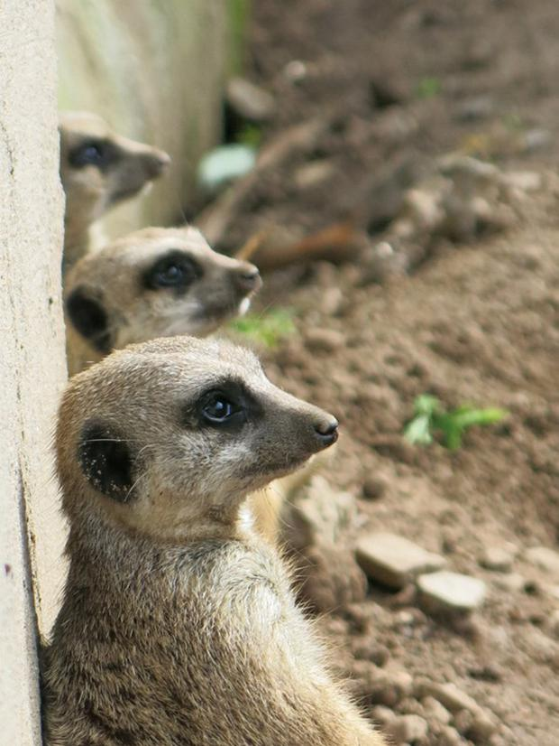 Belfast Zoo (24) Highly commended, best picture taken by someone under 16 - meerkats by Caleb Wenlock