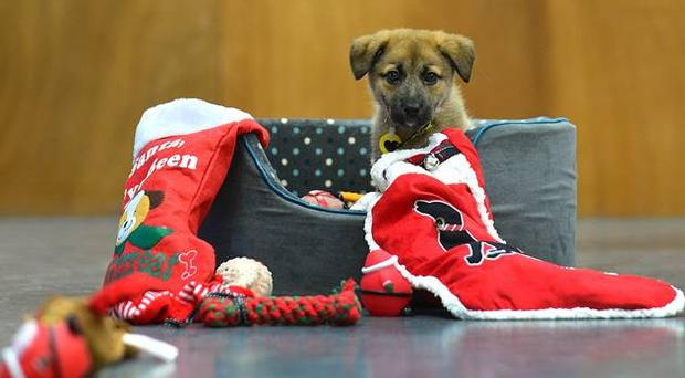 Puppy Gretal who found abandoned just days before Christmas.