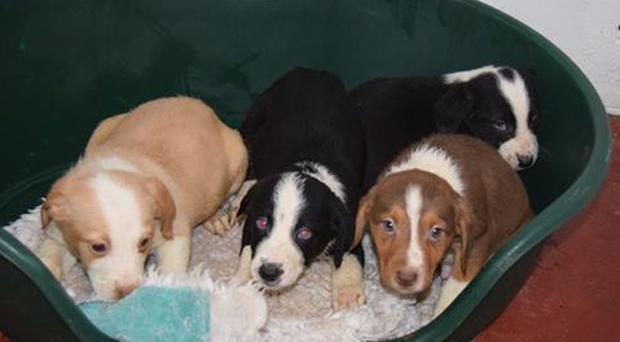 The 7-week-old puppies