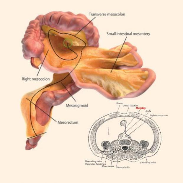 A digital representation of the small and large intestines and associated mesentery J Calvin Coffey, D Peter OLeary, Henry Vandyke Carter