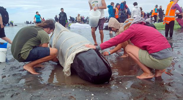 Volunteers tend to pilot whales which beached themselves at Farewell Spit in the Golden Bay region, the northern tip of New Zealand's South Island