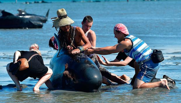Volunteers pour water on pilot whales during a mass stranding at Farewell Spit on February 11, 2017.