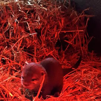 The Asian Small-Claw Otter pup arrived last December.