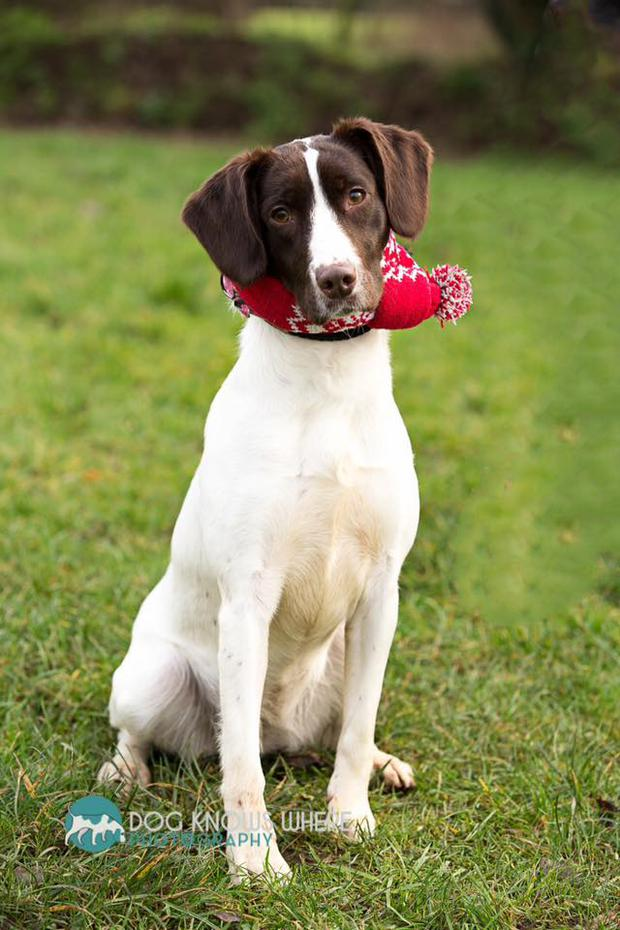 Sparky is a young female Springer. At 10 months she is a lovable little live wire and is great with other dogs