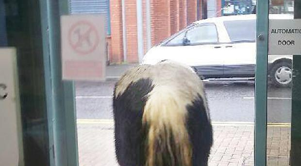 Horses spotted in the Legahory area in the Brownlow Health Centre