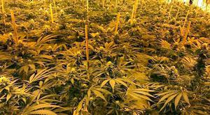 Photo issued by Wiltshire Police of cannabis plants found following a raid on RGHQ Chilmark, an underground nuclear bunker constructed in the 1980s, as six people have been arrested after police discovered the