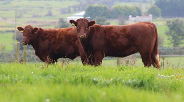Cattle farming may be affected