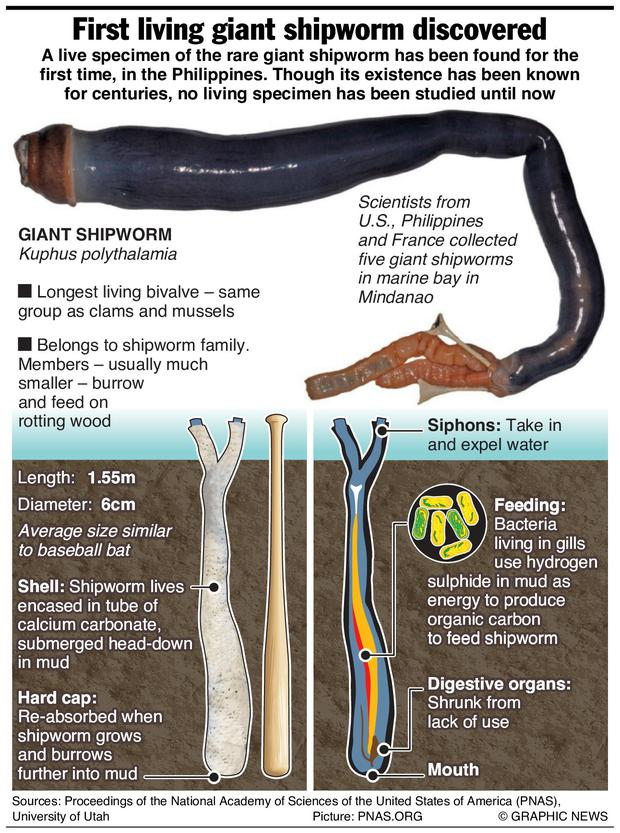 Graphic shows biology of the giant shipworm