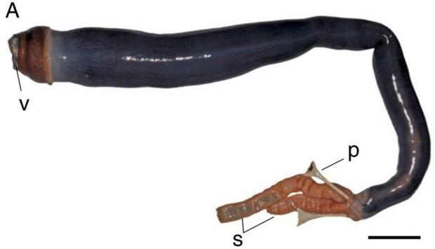 The giant shipworm feeds from a valve (marked V) and has two siphons at its tail (marked S) to take in and expel water. Image: Pnas.org