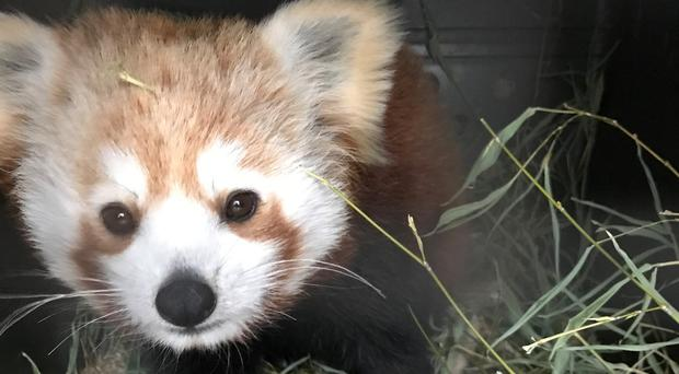 Vixen the red panda is the latest arrival at Belfast Zoo.