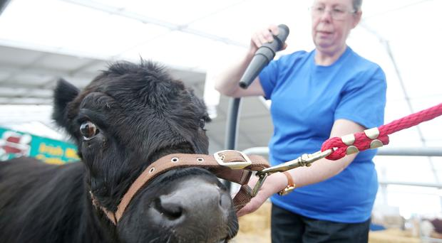 Heather Briggs from Newtowncrommelin, Co Antrim, prepares her Dexter Oldstone Wrist ahead of this year's Balmoral Show