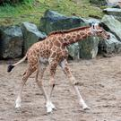 The latest arrival has been named Gilbert. Photo: Belfast Zoo