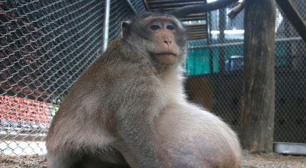 A morbidly obese wild monkey who gorged himself on junk food and soft drinks left behind by tourists has been rescued and placed on a strict diet of lean protein, fruit and vegetables. (AP Photo/Sakchai Lalit)